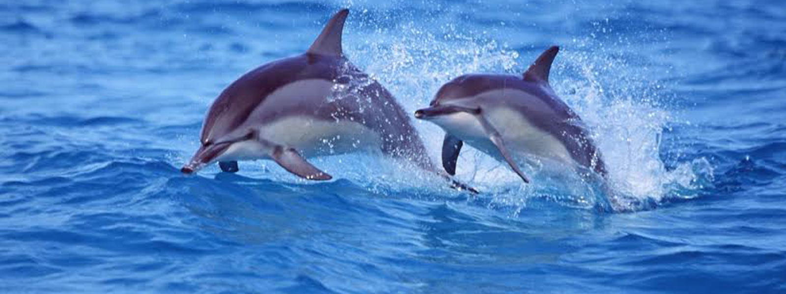 save japan dolphins Wdc in action around the world support our fight against whaling, captivity and help us to create and protect homes for whales and dolphins.