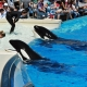 Captive Orcas at SeaWorld