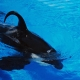 Orca with drooped dorsal - Seaworld